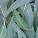 Eucalyptus, Camphoraceous, Lavender